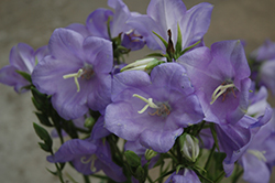 Takion Blue Peachleaf Bellflower (Campanula persicifolia 'Takion Blue') at Wedel's Nursery, Florist and Garden Center