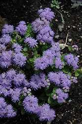 Blue Danube Flossflower (Ageratum 'Blue Danube') at Wedel's Nursery, Florist and Garden Center