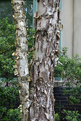 Dura Heat River Birch (Betula nigra 'Dura Heat') at Wedel's Nursery, Florist and Garden Center