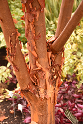 Paperbark Maple (Acer griseum) at Wedel's Nursery, Florist and Garden Center