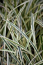 Ice Ballet Sedge (Carex morrowii 'Ice Ballet') at Wedel's Nursery, Florist and Garden Center