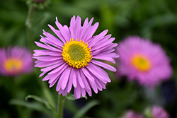 Happy End Alpine Aster (Aster alpinus 'Happy End') at Wedel's Nursery, Florist and Garden Center
