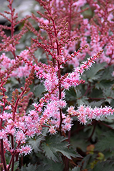 Delft Lace Astilbe (Astilbe 'Delft Lace') at Wedel's Nursery, Florist and Garden Center