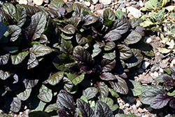 Gaiety Bugleweed (Ajuga reptans 'Gaiety') at Wedel's Nursery, Florist and Garden Center