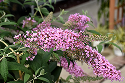 Pink Delight Butterfly Bush (Buddleia davidii 'Pink Delight') at Wedel's Nursery, Florist and Garden Center