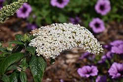 Pugster® White Butterfly Bush (Buddleia 'SMNBDW') at Wedel's Nursery, Florist and Garden Center