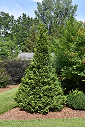 Soft Serve® Falsecypress (Chamaecyparis pisifera 'Dow Whiting') at Wedel's Nursery, Florist and Garden Center