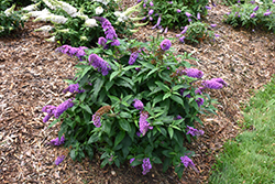 Pugster® Periwinkle Butterfly Bush (Buddleia 'SMNBDO') at Wedel's Nursery, Florist and Garden Center