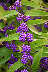 Issai Beautyberry (Callicarpa dichotoma 'Issai') at Wedel's Nursery, Florist and Garden Center